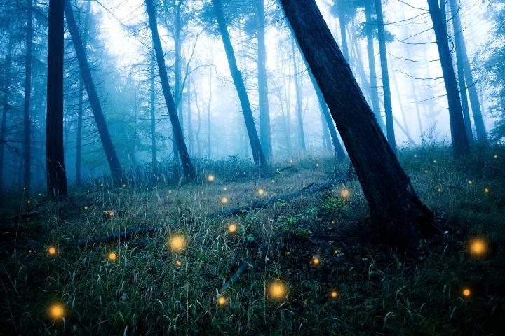 Bosques de Luciérnagas. Foto: ASTK